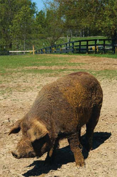 Virgil the Hog