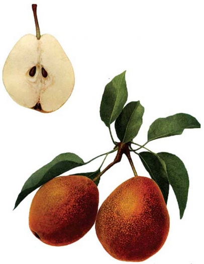 Colour plate from The Pears of New York (1921) depicting the Kieffer pear cultivar.