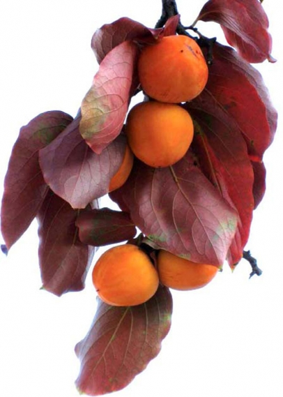 ripe persimmons and leaves from tree