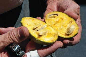 holding a sliced pawpaw fruit in hand