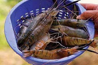 Seafood Prawns