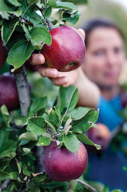 Woodland Farm in Oldham County, horticulturist, Stephanie Tittle, picks Arkansas Black Apple
